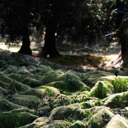 Ligurische Oliven Frantoio Bianco Ligurien